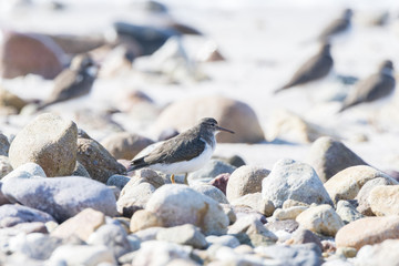 Spotted Sandpiper (Actitis macularius) Foraging in the Rocks on a Beach in Mexico