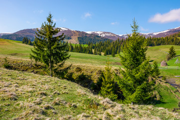 spruce trees on the meadow in mountains. beautiful countryside with snowy tops of mountains in the distance