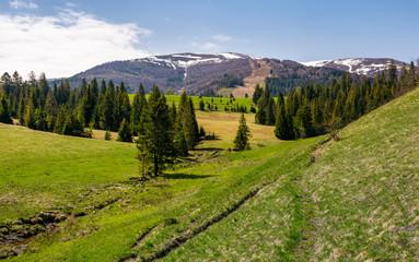 mountainous landscape with coniferous forest. lovely springtime scenery at the foot of Borzhava mountain ridge. location - Pylypets, TransCarpathian region, Ukraine