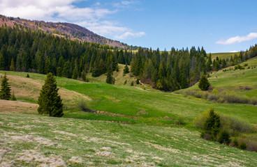 grassy meadow at the foot of the mountain. beautiful landscape with spruce forest on hillside
