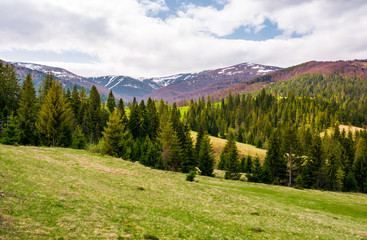 spruce forest on rolling hills in springtime. gorgeous landscape of Pylypets valley in Carpathian mountains, Borzhava mountain ridge with snowy tops in the distance
