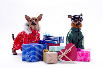 Toy terrier and chihuahua with gift boxes. Studio shot of russian toy chihuahua and toy-terrier in winter clothes near boxes with gifts over white background.