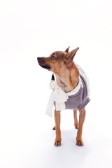 Russian toy in clothes, studio shot. Brown sleek-haired chihuahua dog standing in clothes over white background, studio portrait. Beautiful domestic pet.