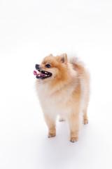 Funny pomeranian spitz, white background. Purebred orange puppy spitz on white background, studio photo. Red color fluffy little dog.