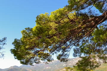 A large branch of a pine tree against a blue sky