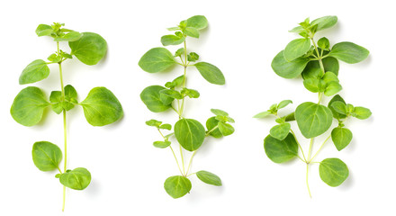 fresh oregano isolated on white Wall mural