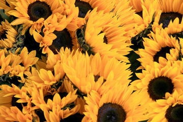 Yellow sunflowers / Large ripe sunflowers in Lucerne