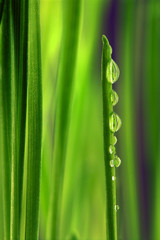 Fresh green grass with drops of morning dew closeup