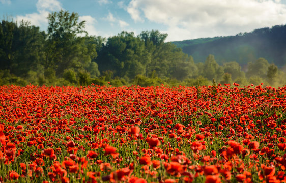 poppy field in summer evening. beautiful nature scenery with vivid flowers in sunset light