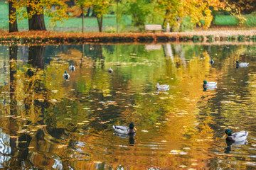 Ducks on a lake in a park in autumn.