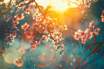 Photo sur cadre textile Olive Spring blossom background. Nature scene with blooming tree and sun flare. Spring flowers. Beautiful orchard