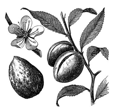 victorian engraving of an almond branch