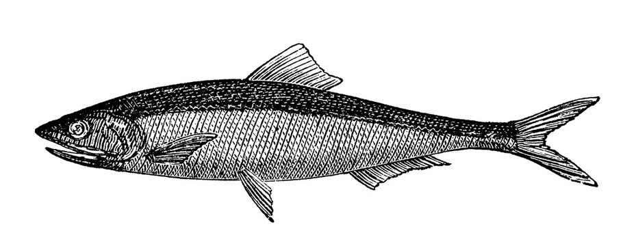 victorian engraving of an anchovy