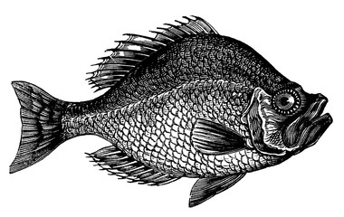 victorian engraving of a rock bass