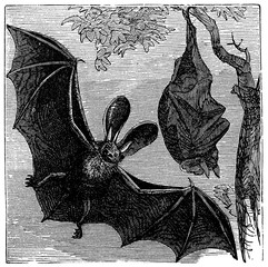 victorian engraving of a long-eared bat