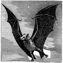 victorian engraving of a flying fox