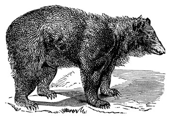victorian engraving of a black bear