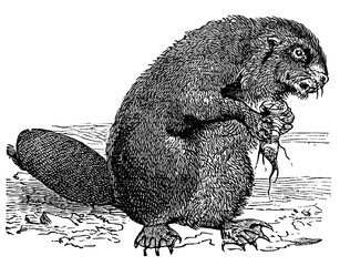 victorian engraving of a beaver