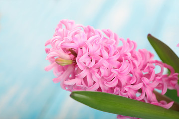 Background with fresh pink, hyacinths on cyan wooden planks. Selective focus. Place for text.Spring flowers.The perfume of blooming hyacinths is a symbol of early spring.
