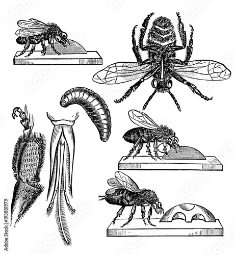Victorian engraving of a diagram of parts of a bee stock photo and victorian engraving of a diagram of parts of a bee ccuart Image collections