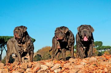 Neapolitan Mastiff dog