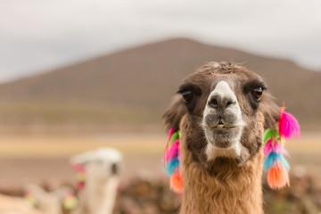 Poster Lama Andes region Bolivia lama closeup