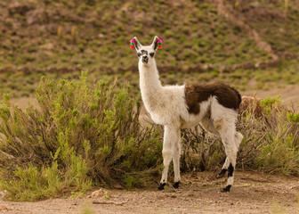 Andes region Bolivia lama closeup