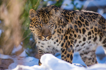 Wall Murals Leopard far Eastern leopard in winter the predator is a dangerous animal
