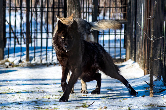 black wolf in the snow