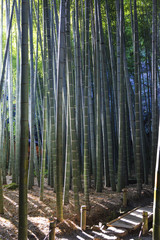 Bamboo forest in kamakura Japan