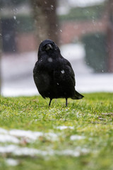 a crow looking at your way in the snow on the grass