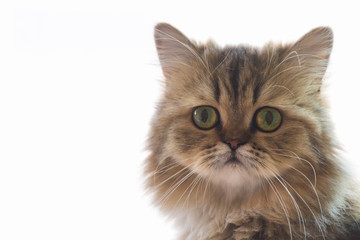 cute chinchilla persian kitten cat waiting and looking for the owner near the window with light. portrait of cat looking at the camera against white background, selective focus and soft light photo.