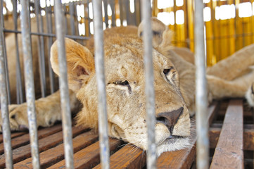 Close-up pictures of the lion