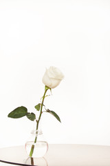 White rose in a glass vase on a white background