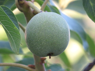 Fruit ripening of walnut