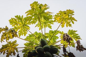 Raw Papaya Fruits on a Tree