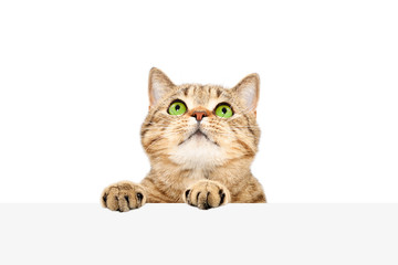 Funny Scottish Straight cat, peeking from behind a banner, isolated on white background