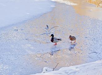 Two ducks on ice