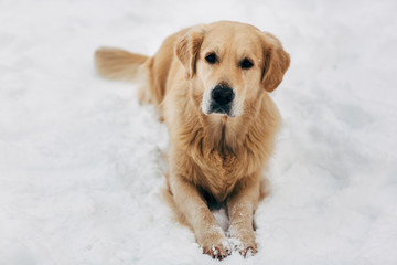 Picture of dog sitting on snow at winter walk
