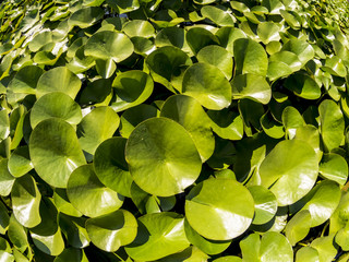 Lotus leaves in a pond in the sunny day. Summer natural background. Fisheye image