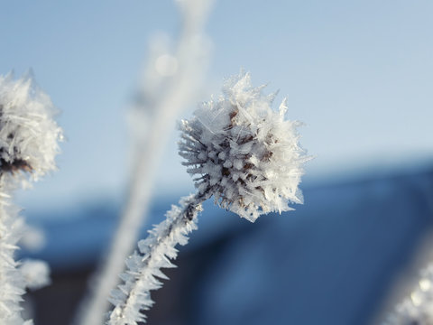 plant burrs covered with cold carved ice crystals in the garden in the snow this morning