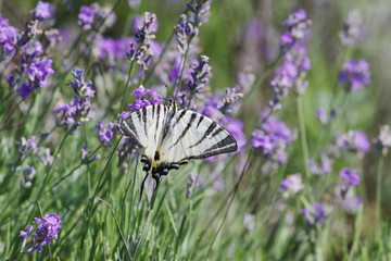Scarce Swallowtail butterfly sitting on wild lavender flowers. Iphiclides podalirius