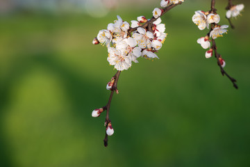 Branch of blooming apricot on green background