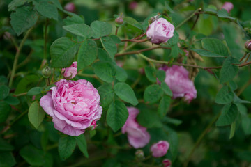 Pink rose bush on green background