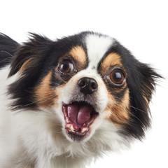 Chihuahua Dog Eating