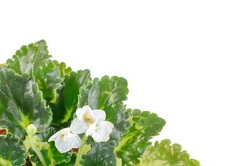 White Begonia flower isolated on white.