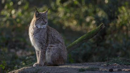 Lynx in woods Germany