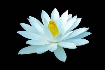 White lotus on a black background file with clipping path.
