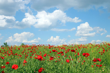 blue sky with clouds over poppies flower field landscape spring season