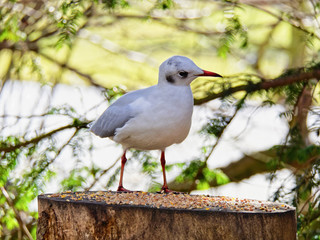 Close up of an alert Black Headed Gull, in winter plumage, on a feed table